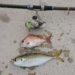 ホントに短い時合いですが、確かにありました。和歌山県 日高港湾の鯵釣り